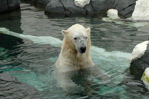 Polar Bear, San Diego Zoo, Zoo