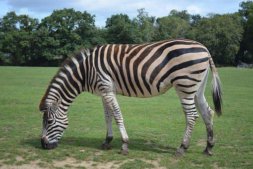 Zebra, Stripes, Animal, Ruminant, Savannah, Zoo, Nature