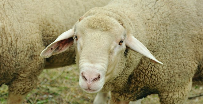 Sheep, Livestock, White Sheep, Pasture, Animal, Wool