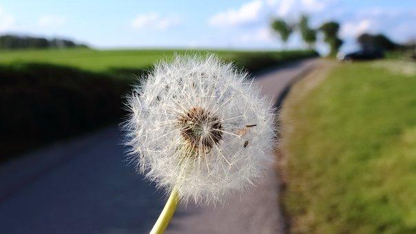 Dandelion, Plant, Spring, Nature, Flower, Close