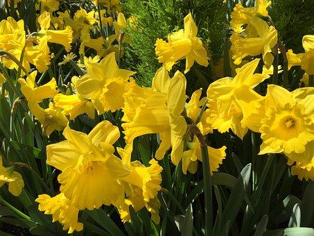 Daffodils, Spring, Flowers