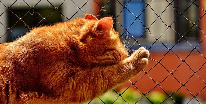 Domestic Cat, Cat, Red, Funny, Cute, Mackerel, Tiger