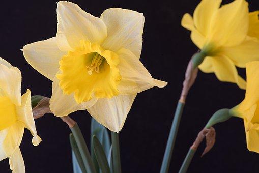 Narcissus, Yellow, Narcissus Pseudonarcissus, Flowers