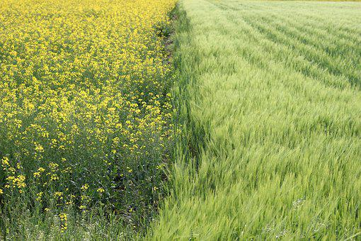 Oil Seed Rape, Barley, Agriculture, Countryside, Yellow