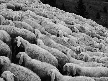 Sheep, Flock Of Sheep, Pasture, Flock, Animals, Meadow
