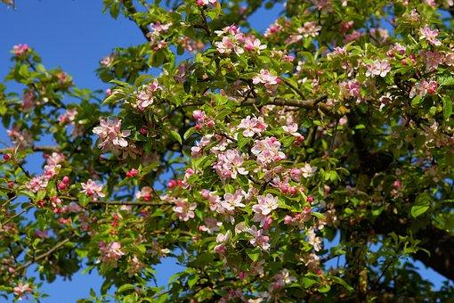 Apple Tree Blossom, Apple Tree, Apple Blossom, Blossom