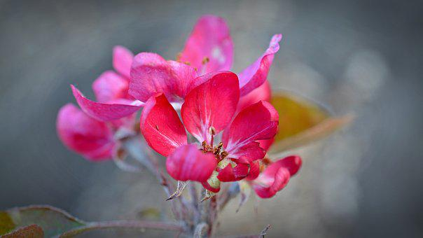 Apple Blossom, Red Flower, Apple Tree, Bloom, Bud