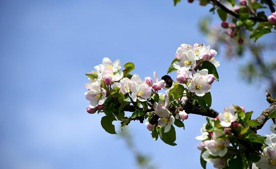 Branch, Apple Blossoms, Apple Tree, Spring, Blossom