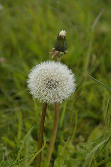 Dandelion, End-stage, Close, Pointed Flower, Meadow