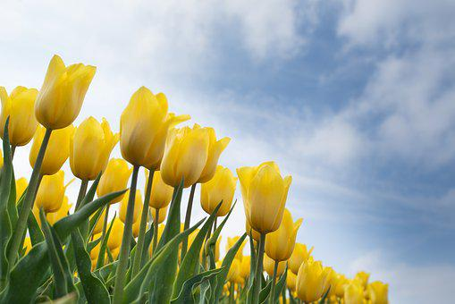 Yellow, Tulip, Bulb, Field, Spring, Flower, Nature