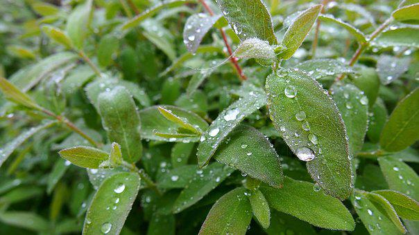 Foliage, Rosa, Drops Of Water, Plant, Macro, Nature