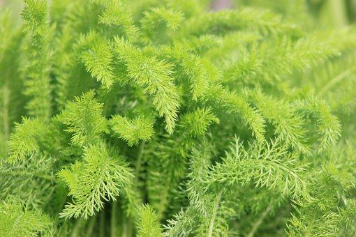 Green, Fern, Natural, Nature, Leaf, Plant