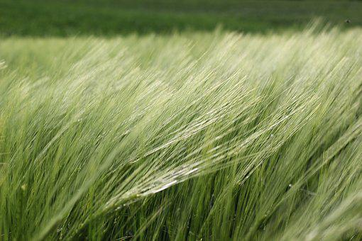 Barley In The Wind, Plant, Agriculture, Growth, Food