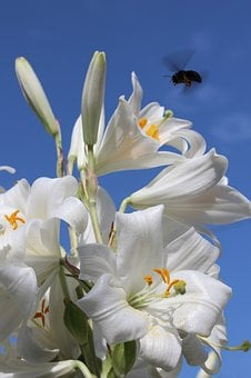 Lily, Hummel, Flowers, Sky, Insect, Flower, Garden