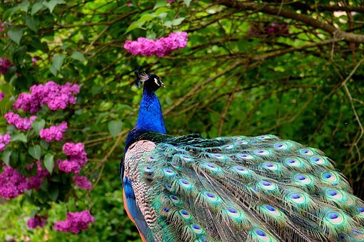 Peacock, Bird, Feather, Pride, Nature, Animal, Blue