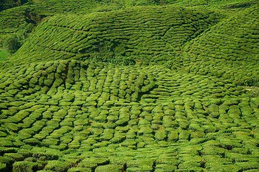 Tea, Plant, Green, Landscape, Nature, Peace, Tea Garden