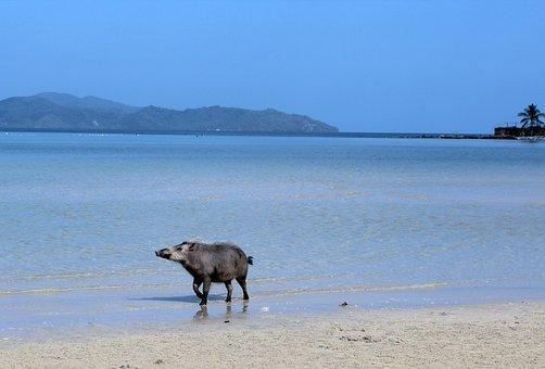 Sea, Beach, Domestic Pig, Pig, Blue, Beach Sea