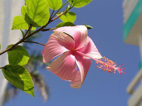 Blossom, Bloom, Pink, Pink Flower, Garden, Pink Mallow
