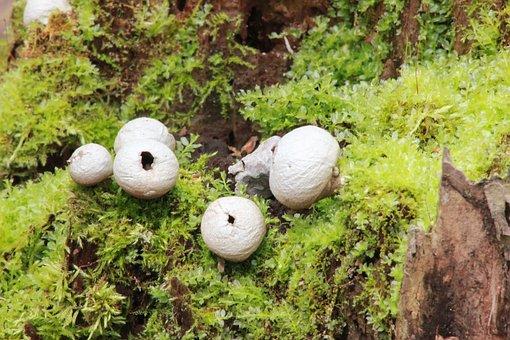 Puffballs, Stump, Fungus, Forest, Mushroom, Green, Moss