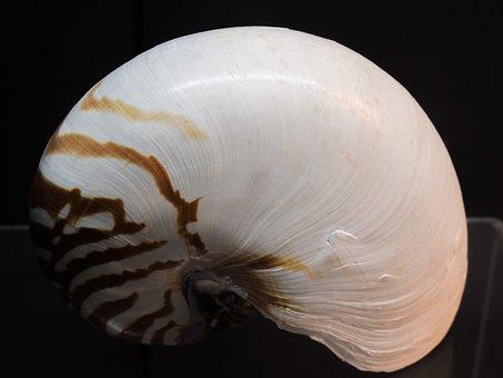 Nautilus Pompilius, Shell, Nautilus, Nature