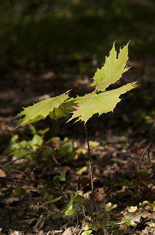 Forest, Maple, Spring, Button, Tree, Seedling, Growth