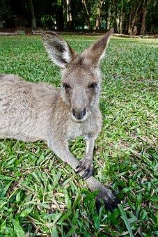 Kangaroo, Face, Wallaby, Sitting, Marsupial, Australia