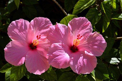 Pink Hibiscus, Flower, Floral, Garden, Beauty, Nature