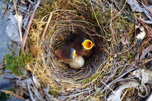 Bird, Birds, Robin, Baby, Nest, Bill, Open, Helpless
