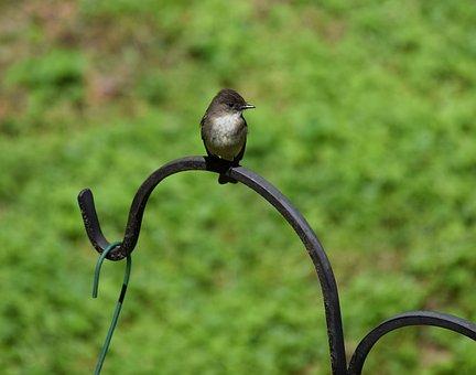 Eastern Phoebe, Tyrant Flycatcher, Bird, Animal