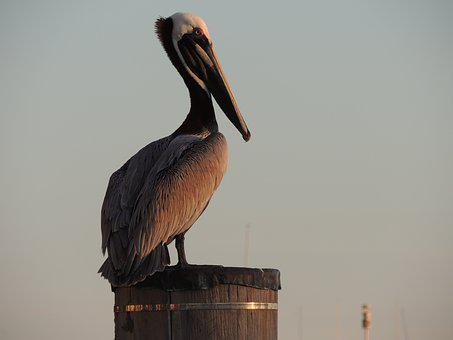 Pelican, Bird, Animal, Nature, Ornithology, Big-bird