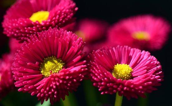 Daisy, Red, Flower, Blossom, Bloom, Plant, Spring