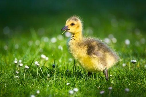 Goslings, Chicks, Bird, Goose, Nature, Young Bird