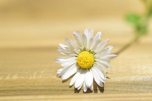 Daisy, Lonely, Nature, Spring, Blossom, Bloom, Flower