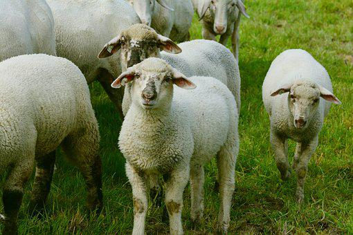Sheep, Flock Of Sheep, Pasture, Lambs, Young Animal