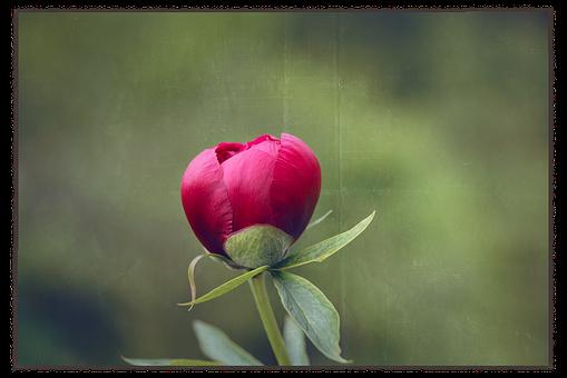 Peony, Blossom, Bloom, Pink, Flower, Closed Flower