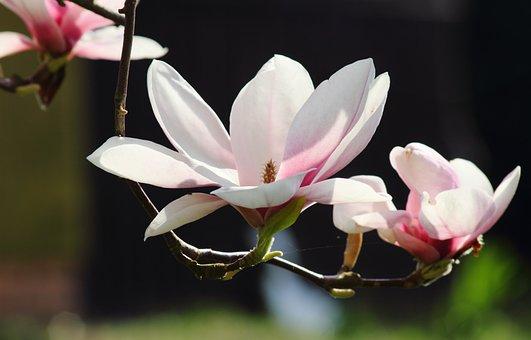 Magnolia, Flowers, Spring, Nature, Pink, Tree