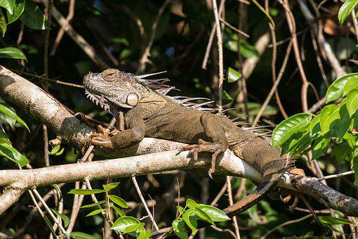Iguana, Tropics, Rainforest, Reptile, Scale, Lizard