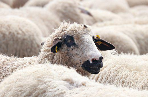 Sheep, Flock Of Sheep, Animals, Wool, Flock, Pasture