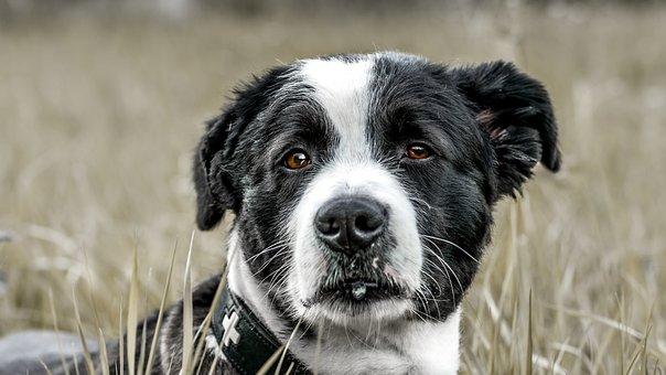 Dog, Field, Animal, Hundeportrait, Snout, Head