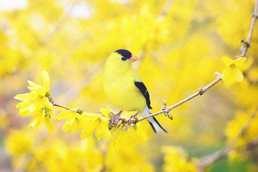Spring Bird, Bird, Spring, Yellow, Flowering Tree