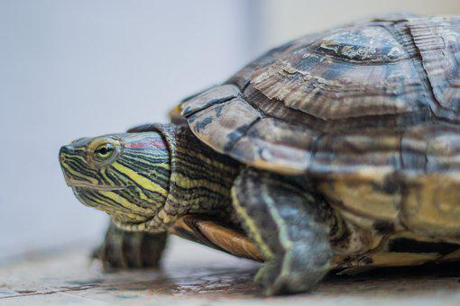 Turtle, Amphibian, Red Eared Slider, Animal, Tortoise
