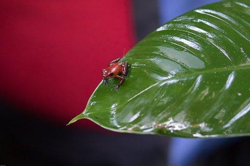 Strawberry Frog, Poison Frog, Toxic, Dangerous, Exotic