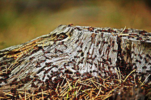 Tree Stump, Ant, Wood Ant, Wood Ant Colony, Insect