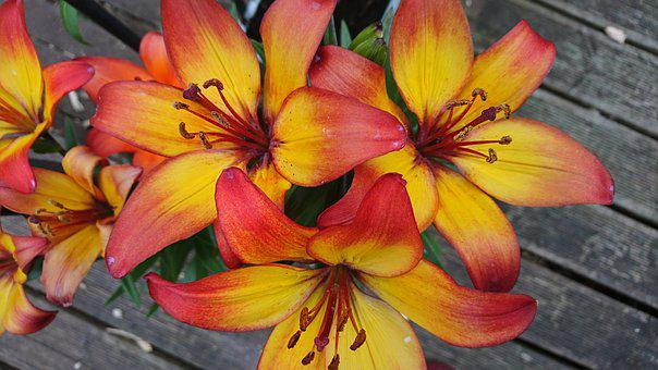 Lilly, Flower, Orange, Bright, Yellow, Flame, Beautiful