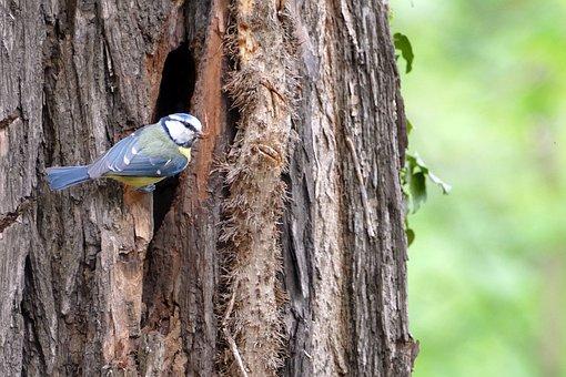 Blue Tit, Bird, Nest, Hatching, Forest