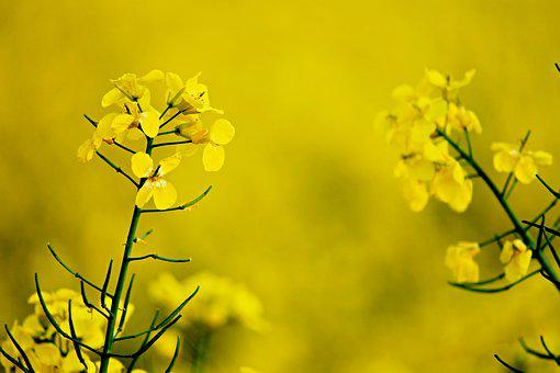 Rape Blossom, Yellow, Oilseed Rape, Field