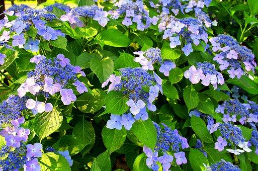 Hydrangea, May, Japan, Green, Natural, Rainy Season
