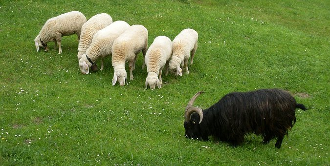 Animals, Sheep, Wool, Meadow, Flock Of Sheep, Pasture