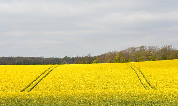 Nature, Field, Oilseed Rape, Spring, Mecklenburg