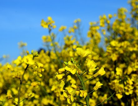 Oilseed Rape, Blossom, Bloom, Yellow